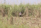 New shock for Vietnamese farmers from 2019-2020 sugarcane crop