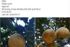 Thực hư loại bưởi Diễn 5.000 đồng/quả bày bán tràn lan trên thị trường