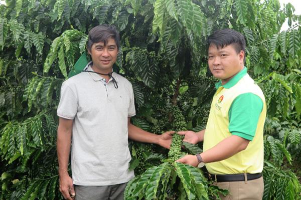 Thành công trên cây cà phê với NPK Cà Mau