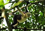 Ha Giang tries to protect snub-nosed monkeys