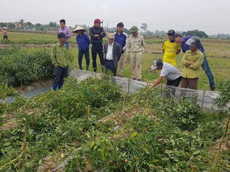 Bác nông dân chống tham nhũng tê tái nhìn 2 sào ớt bị bẻ la liệt