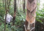 Tam Dao National Park pine trees illegally exploited