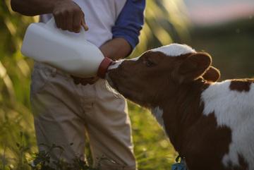 Bo, Beo, Tí, Đốm: Những cô bò khoẻ mạnh cho sữa chuẩn Hà Lan