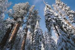 Tuyết phủ trắng rừng cây đại thụ cao nhất nước Mỹ
