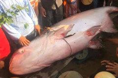 Ngư dân An Giang bắt được cá 'khủng' nặng 230kg