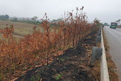 Thousands of trees torched along Highway 18