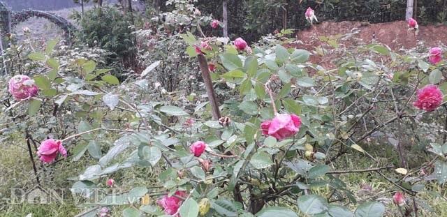Vườn hồng cổ Sa Pa bạc tỷ bạt ngàn của ông chủ trẻ Thái Nguyên