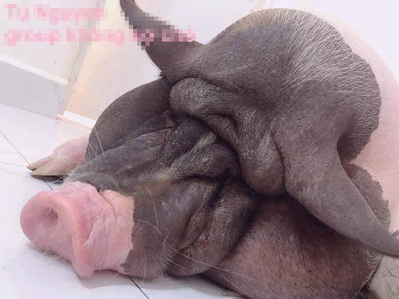 Mặc áo thịt lợn, ngồi cười khó hiểu với cái lò xo