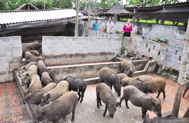 Giữa lúc giá lợn leo thang, nuôi lợn rừng bán 1 con lãi 1 chỉ vàng