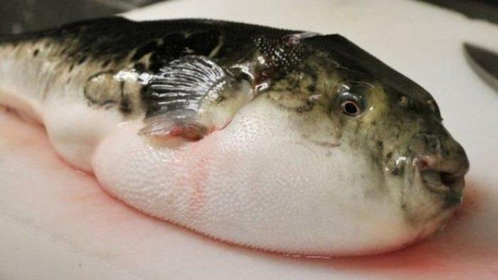 Vụ 6 người nguy kịch, 1 người tử vong: Độc cá nóc nguy hiểm như thế nào?