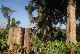 Điều tra vụ khu bảo tồn thuê người đốn hạ cây rừng tự nhiên