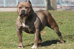 Bị chó Pitbull tấn công, 2 mẹ con nguy kịch