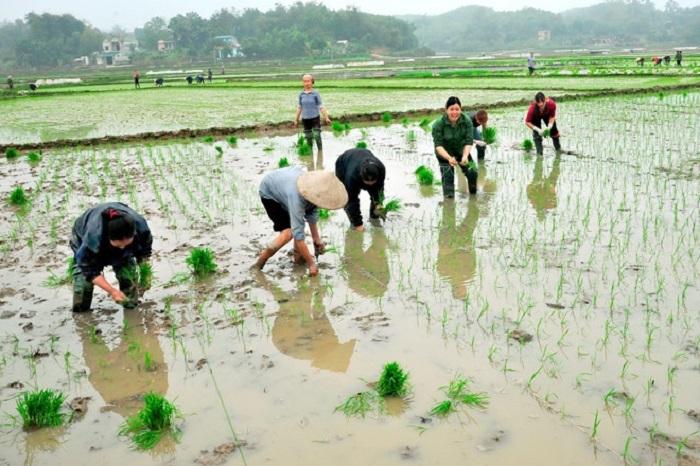 Kỷ lục cấy lúa, hơn 15 ngày xong trên nửa triệu ha