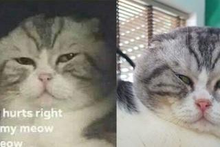 Chú mèo ở Việt Nam gây bão mạng với meme 'đau ở đây này'