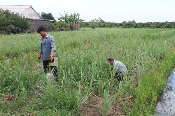 Lemongrass price rise benefits farmers in Mekong Delta district