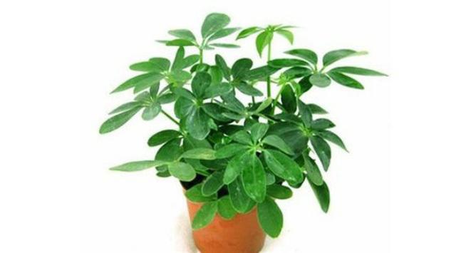 Bất ngờ từ những loại cây quen thuộc 'nuốt' bụi mịn, lọc không khí
