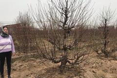 Chưa nở hoa, cây bạch đào độc nhất tại Nhật Tân vẫn được trả giá thuê 40 triệu