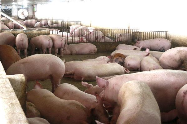 Thịt lợn giảm giá mạnh ngay đầu vụ Tết