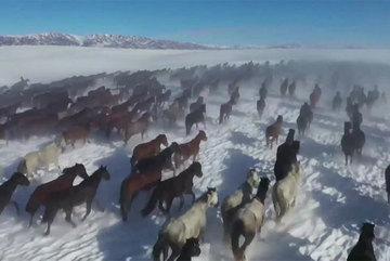 Ngắm hàng vạn chú ngựa tung vó ngoạn mục giữa tuyết trắng