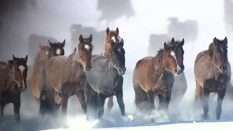 Ngựa,ngựa tung vó,ngựa phi nước đại,tuyết trắng,Tân Cương,Trung Quốc