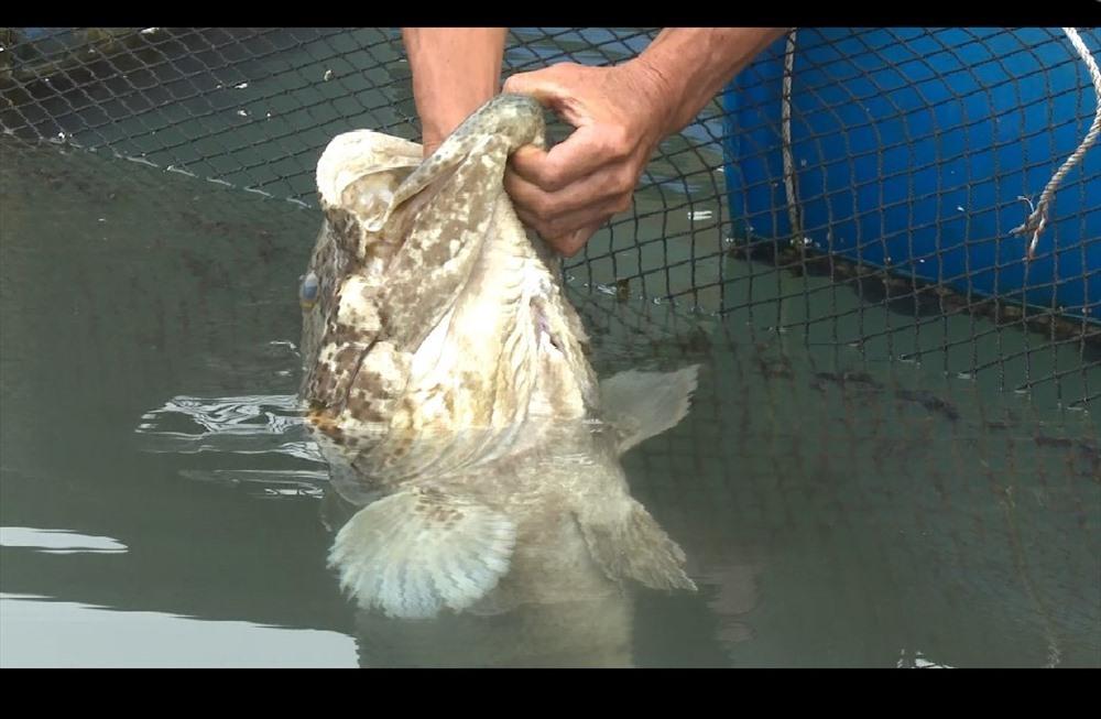Chuyện về chú cá song kỳ lạ rất thích được đánh răng ở Quảng Ninh