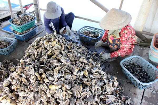 Liều nuôi loài hàu dễ 'chết sớm' ở sông Cửa Lấp thu 4 tỷ/năm