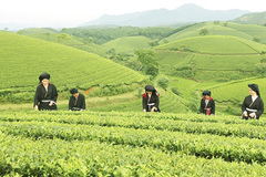 Long Coc tea hill spread their green to heaven's rim