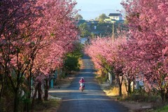 Wild Himalayan cherry blossoms brighten Da Lat