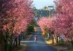 Wild Himalayan cherry blossoms brighten Da Lat