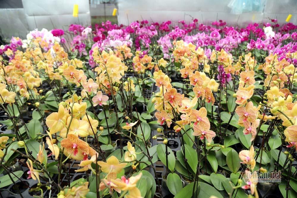 Chuyện lạ, hoa lan 4.0 trên đỉnh đèo Sa Mù, tranh nhau mua từng cây