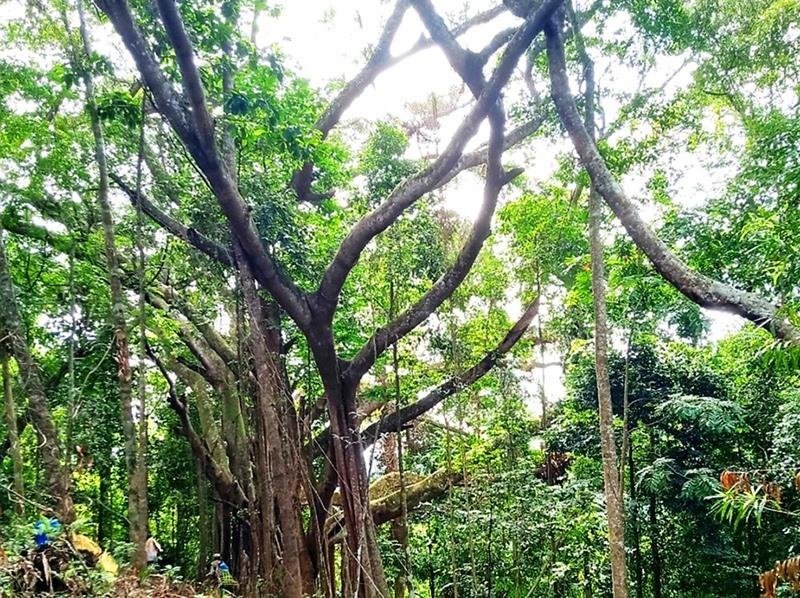 Rừng đa cổ thụ âm u, bí hiểm ở Quảng Nam, có cây 1.000 năm tuổi