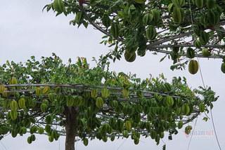 Đôi cây khế hình lọng lúc lỉu quả, chủ nhà đòi đủ 1 cây vàng