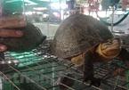 Wild turtles under threat of extinction