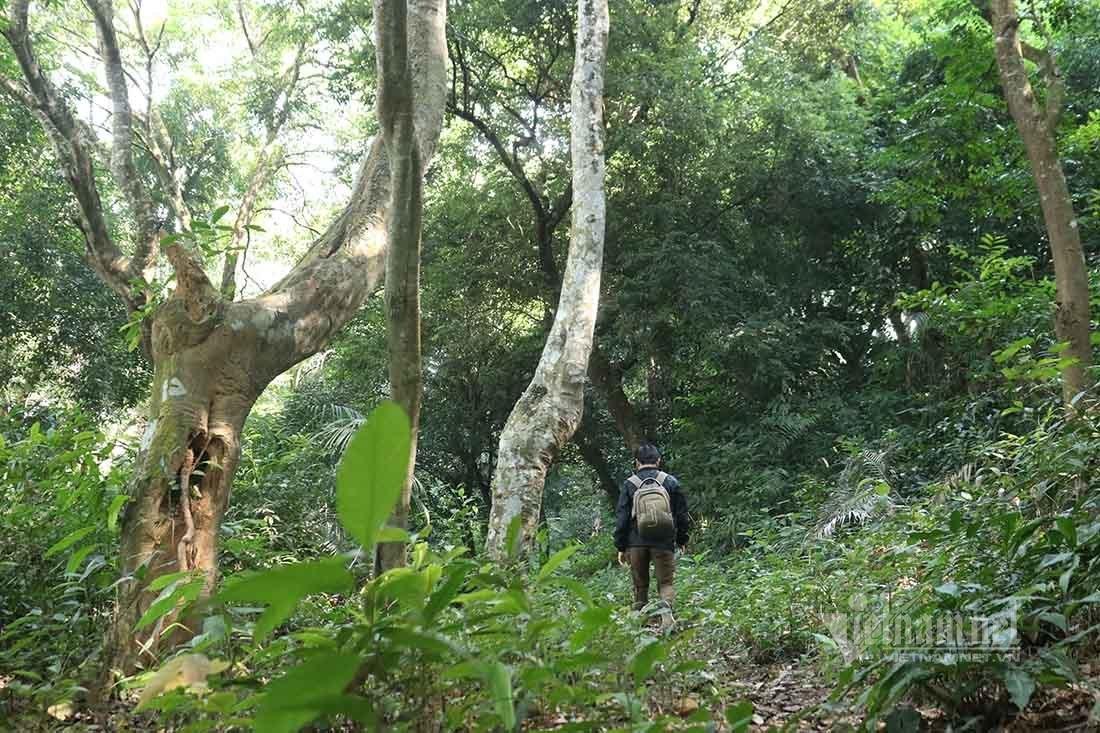 Giải mã bí ẩn rừng lim cổ thụ được thần trăn bảo vệ