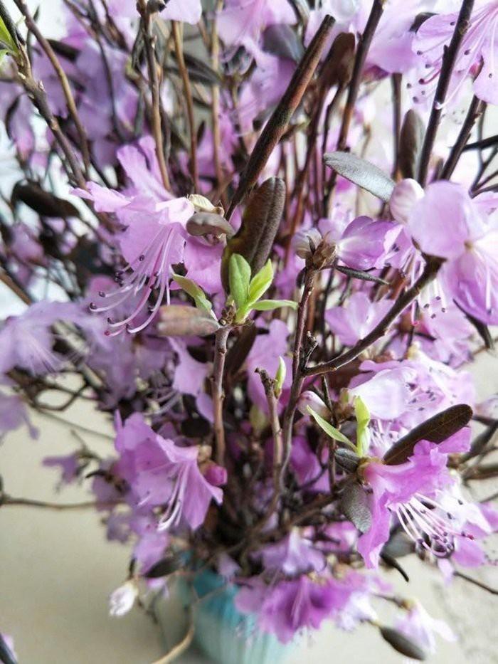 hoa đỗ quyên,hoa tết