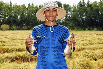 Giáp Tết về Cà Mau chụp chuột đồng, con nào con nấy thịt cả là thịt