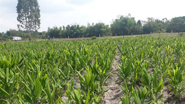 Turmeric offers remedy that profits farmers