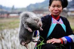 Hiếm thịt lợn, người Trung Quốc 'săn' chuột tre