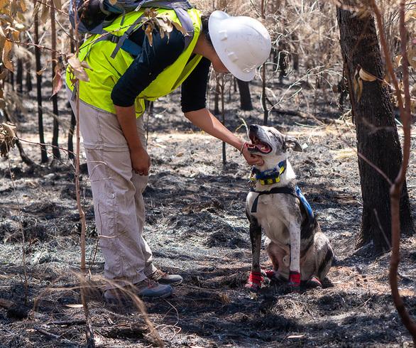 Chú chó 'anh hùng' giải cứu koala khỏi cháy rừng ở Úc