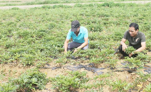Nhờ được dạy nghề, nông dân Hà Giang hăng hái tham gia trồng dược liệu