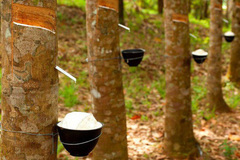 As rubber price falls, rubber companies shift to develop IZs