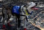 Chú chó bị bỏ rơi thành anh hùng khi giải cứu gấu koala