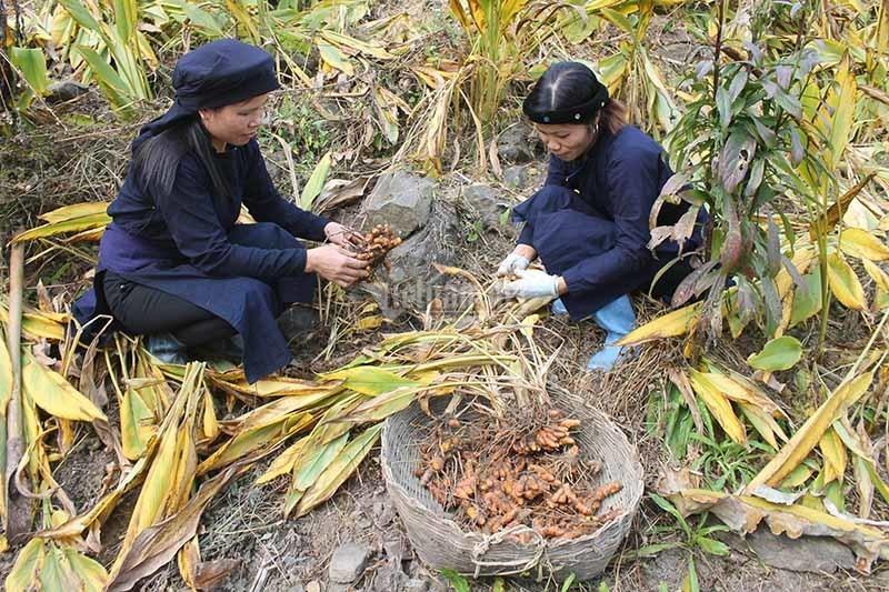 Được đào tạo trồng nghệ hữu cơ xuất khẩu, nông dân Bắc Kạn đổi đời