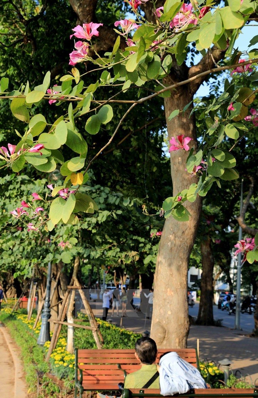 mountain ebonies,ban flowers,ban flowers in Hanoi,hanoi streeet,flowers