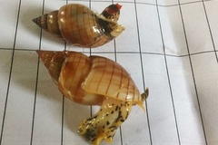 1 người chết, 7 người nguy kịch sau khi ăn ốc biển