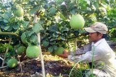 Bến Tre: Đào tạo 'Kỹ thuật trồng cây có múi' cho nông dân