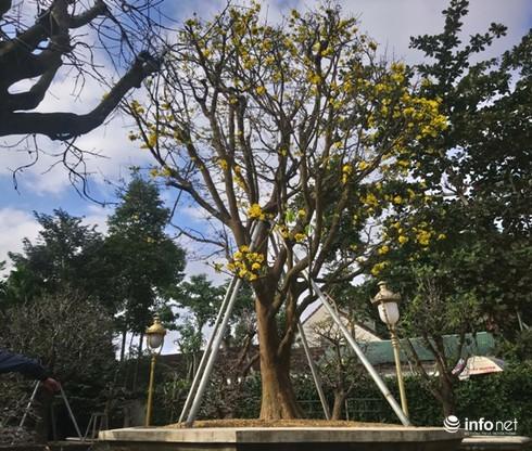 Cây hoàng mai trên 200 năm tuổi bung hoa vàng chóe, giá khoảng 5 tỷ