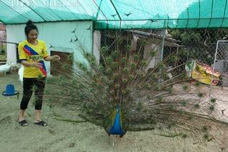 Hotgirl Nam Định luyện chim công múa, bán mỗi cặp cả nghìn đô