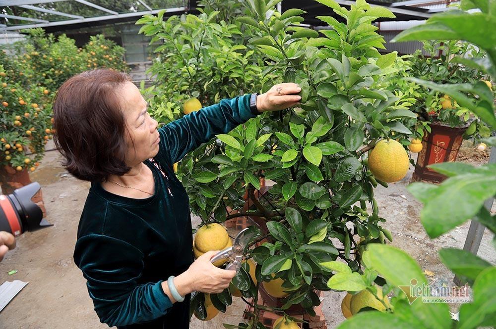 Vườn 'hồ lô' bên sông Hồng, Tết đến vợ chồng bận bịu thu tiền triệu