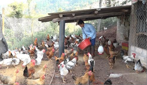 Đặc sản ăn Tết: Tỉnh nào đang nuôi loài gà 6 ngón kỳ lạ?